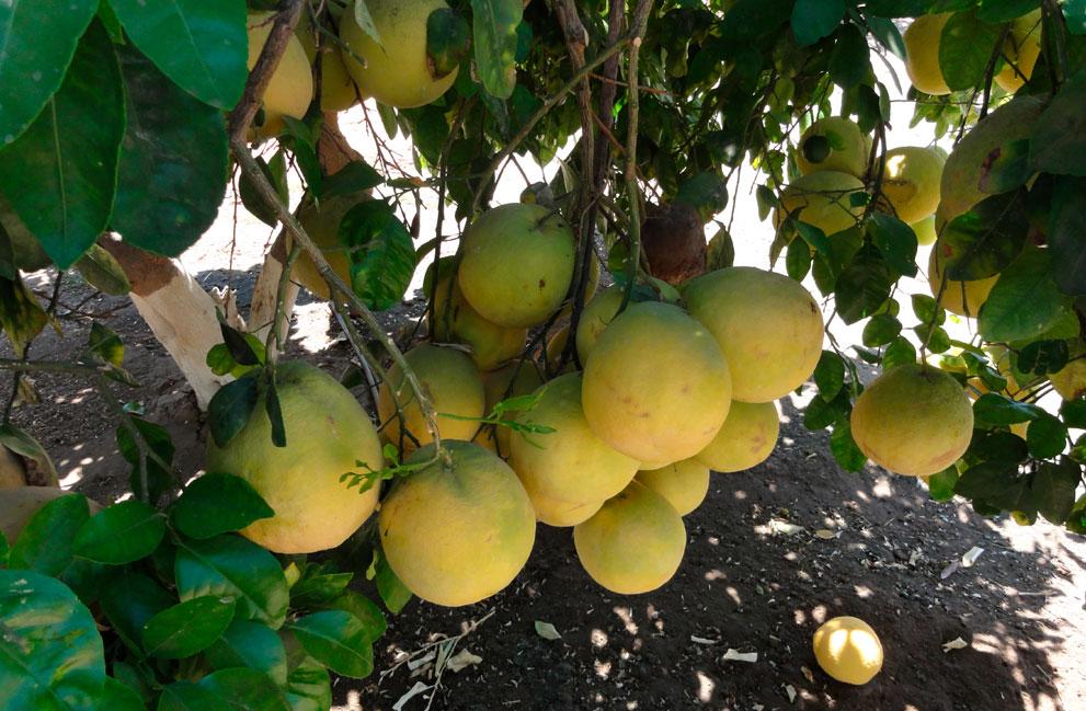 galeria-limon-de-pica-10