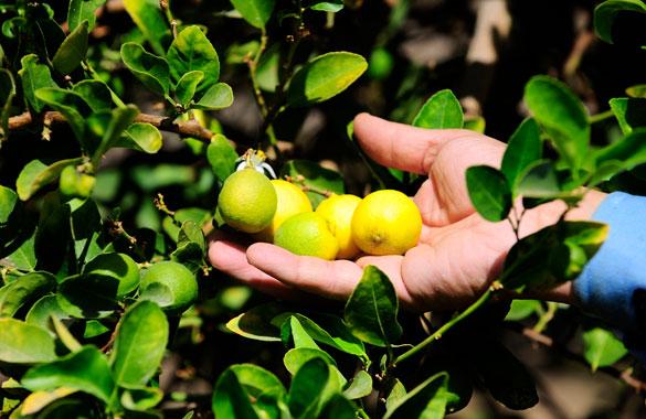 home-limon-de-pica